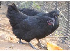 五黑鸡 悠然农乡生态农业 珍禽极