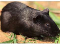 黑豚鼠 豚狸 风狸 平衡体内所需