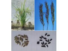 特色水稻品种试种加盟活动