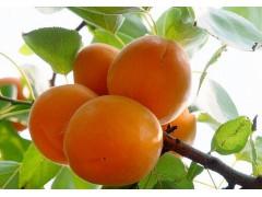 富硒黄金杏