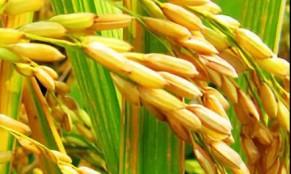 什么是富硒大米?好处是什么呢?